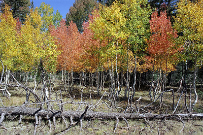 Trees-at-the-North-Rim