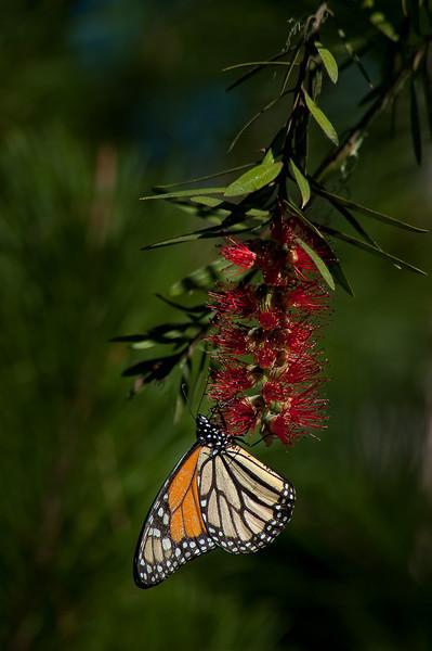 A male Monarch (Danaus plexippus) feeding on a bottlebrush (Callistemon) tree in Monarch Grove Sanctuary of Pacific Grove, CA