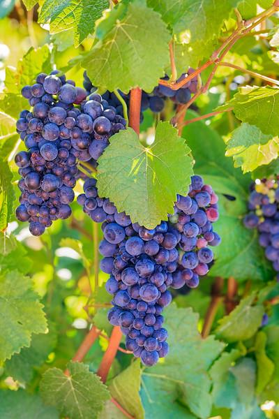 Guilt 'n Grapes