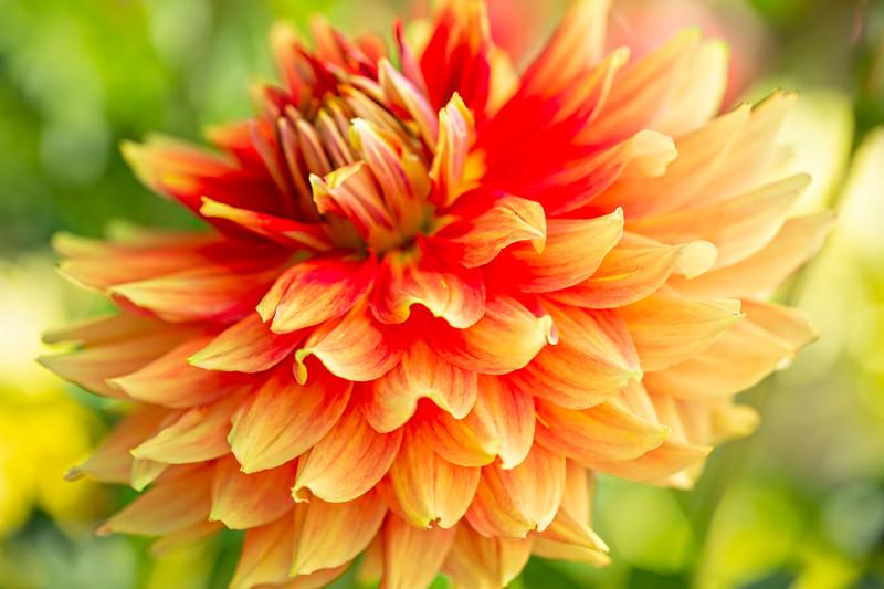 "You can see the <b><a href=""https://www.synappedphoto.com/Flowers/Dahlias-Fuschias-Irises/i-mthpC9X"">vertical version here</a></b>."