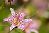 Japanese hairy toad lily