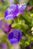 Amethyst in Bloom