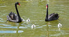 Black Swan fam
