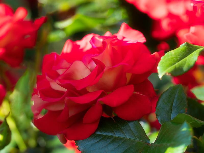 Billowing in Roses
