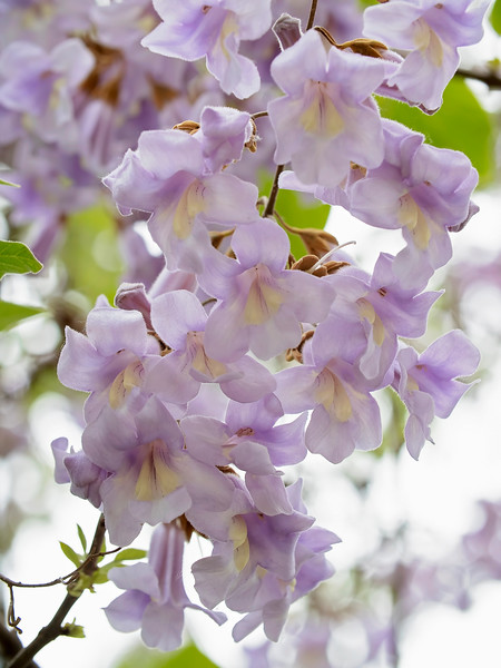 Lavender Royal Paulownia (Princess tree, Foxglove tree), native to central and western China