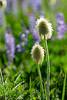 Bear Grass in bloom