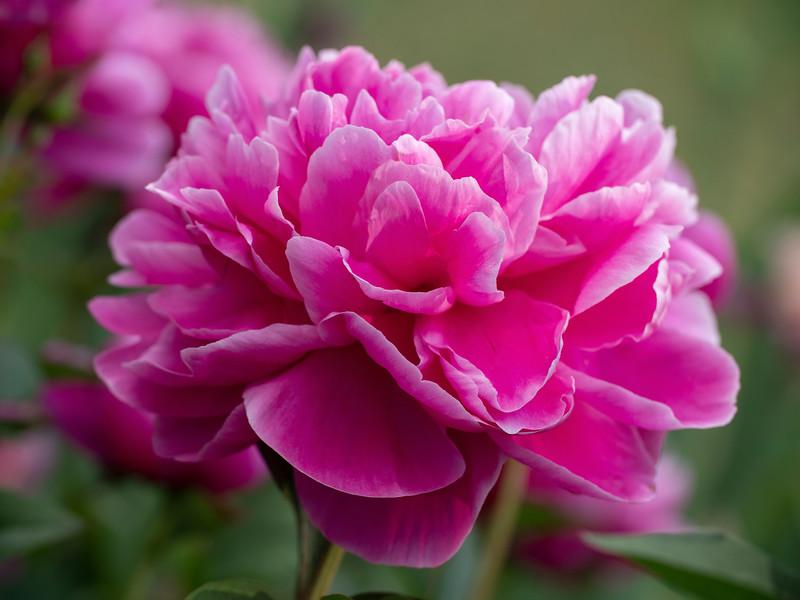 Ruffly Pinks