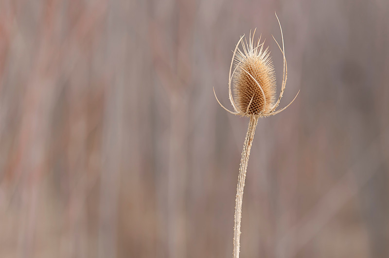 Soloist Teasal. A simple plant that most would call a weed.  But such regal beauty frozen in time.  I love knowing we share the planet with an intelligence that made such gorgeous designs.  It really paid attention to detail.