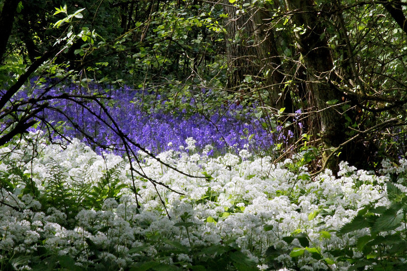 Wild Garlic competes with Bluebells to make the best show.