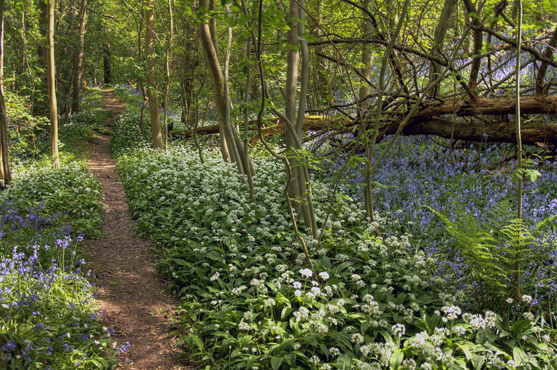 Even more Garlic and Bluebells!