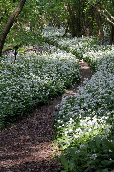 Path through a sea of Wild Garlic (well you'd be a bit miffed if people walked over you like that).