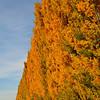 Tall poplars