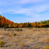 Poplars and apple orchard near Columbia River in fall colors