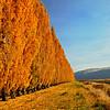 Tall poplars in full color near Columbia River