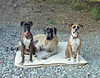Yeah...It's good to be the king!  Zeke with his two bitches Emma & Abbey.  This was completely un-posed.  I was packing up the RV at the end of a camping trip when I looked over an saw them sitting just like this.  QUICK!  Hon...grab my camera!!!  Surprisingly they stayed for a few shots.