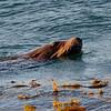 Sea Lion, Monterey Breakwater