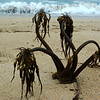 Kelp Growing On The Beach