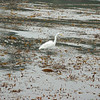 Egret On Kelp