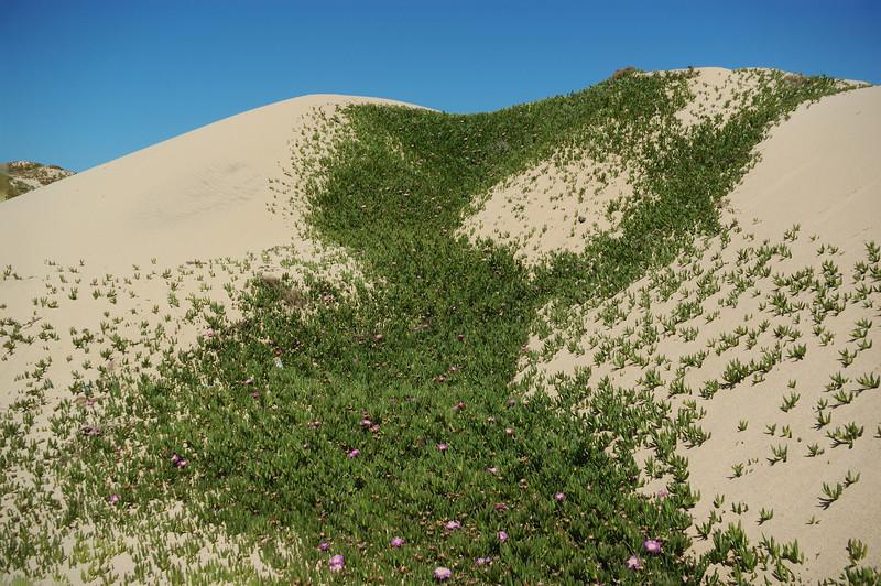 Iceplant on Dunes