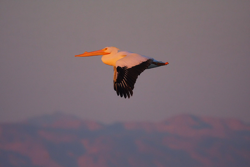 "A White Pelican in breeding plumage (notice the breeding ""horn"" on its bill) in early-morning light."