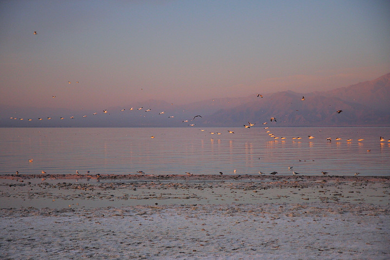 "Taken on the morning of January 30 2011 along the northeastern shore of the Salton Sea, this shows the amazing aerial ""line-flying"" formation of the White Pelicans."