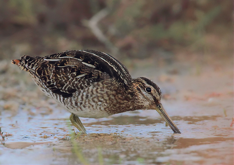 WIlson's Snipe at the marsh near the Recreation Area's boat jetty, Feb 4 2012.