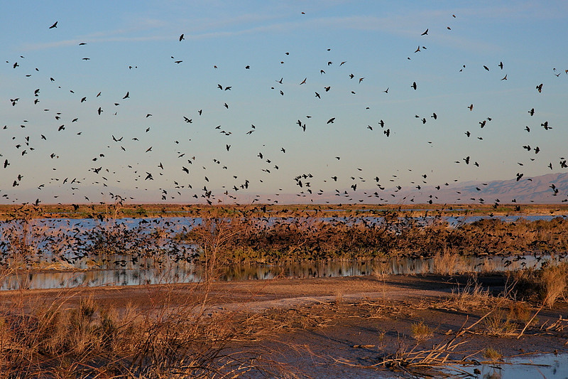 Scads of Red-winged Blackbirds in a wetlands area along Davis Road in the Wister Unit, Feb 4 2012.