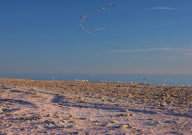 A sinuous line of White Pelicans flys up the Salton Sea near sunset at Corvina Campground, Feb 5 2012.