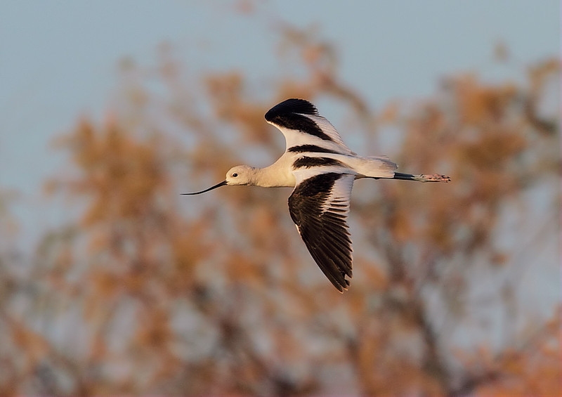 An American Avocet flyby in the marsh area near the boat jetty at the North Shore's Salton Sea State Recreation Area, Feb 4 2012.