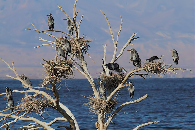 Great Blue Heron nests in a dead tree near Obsidian Butte in the south section of the Sea, Feb 4 2012.