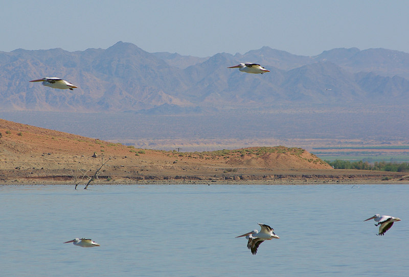 "White Pelicans on the mid-morning flyout to the Sea from the Sonny Bono Refuge ""ponds""."