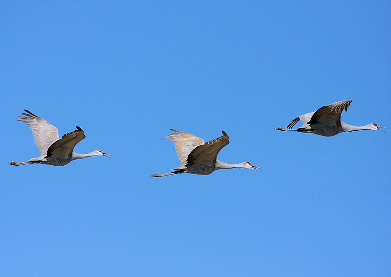 Sandhill Cranes fly by at the northern unit. Feb 2009.