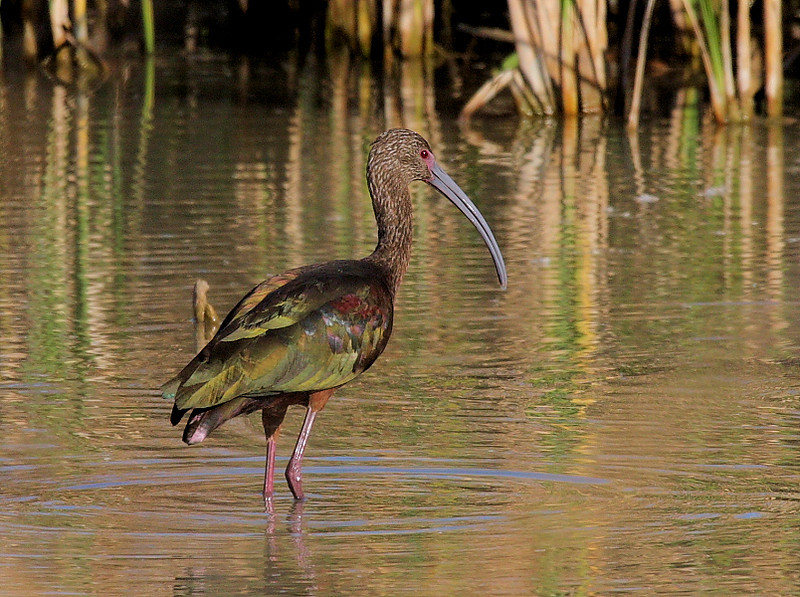 The iridescence of a White-faced Ibis is on display right off the parking lot at the northern unit of Sonny Bono Refuge, Feb 2009.