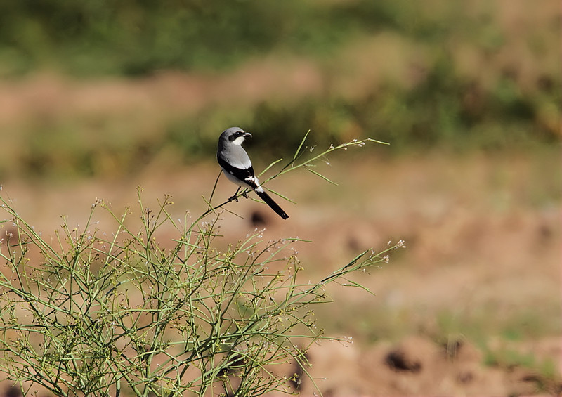 Loggerhead Shrike along Vendel Road leading to Unit 1 of the Sonny Bonny Salton Sea Nat'l Wildlife Refuge, Feb 4 2012.