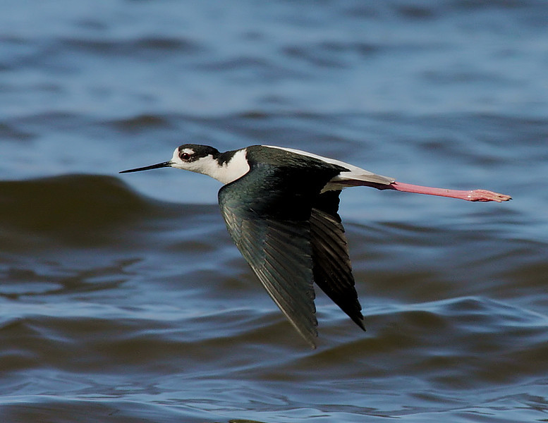 Black-necked Stilt along the shore, taken Feb 2009 with the Canon 40D/100-400 L IS lens.