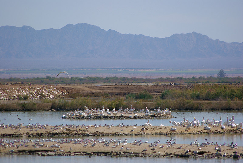 Terns, White Pelicans, and other shorebirds congregate near Obsidian Butte in the Sonny Bono Wildlife Refuge.