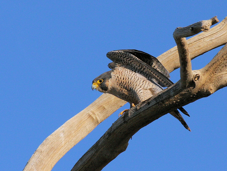 A Peregrine Falcon homes-in on an unsuspecting shorebird. It's perched on a dead tree near the northern end of Lack Road. Taken Feb 2009 with the Canon 40D/100-400 IS L lens.
