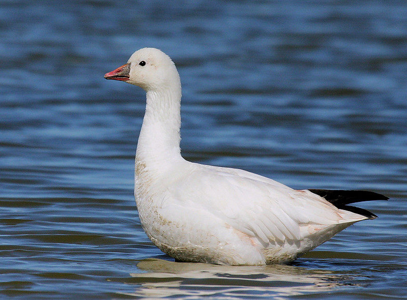 A Snow Goose portrait, from the northern unit of Sonny Bono WIldlife Refuge at the end of Vendal Road, February 2009. Taken with the Canon 40D/100-400 L IS lens.