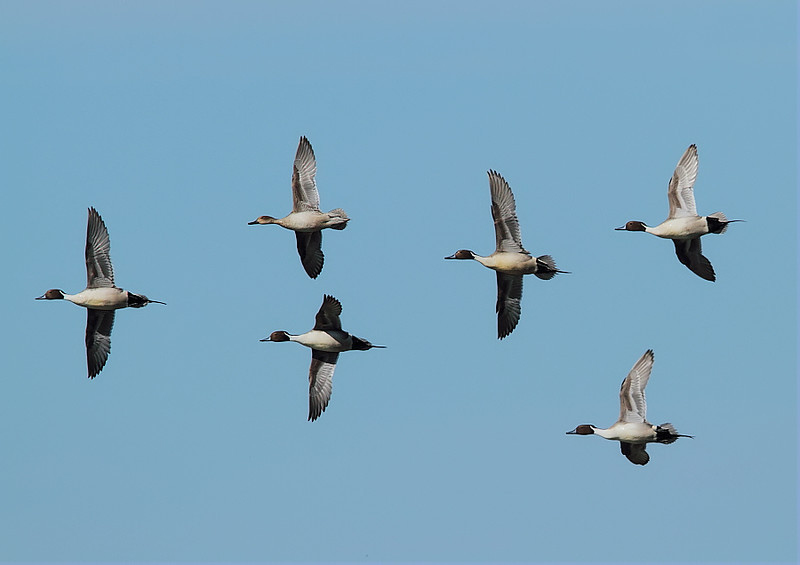 Northern Pintails in formation at the wildlife refuge's Unit 1.