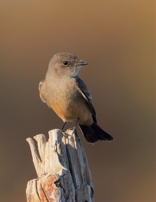 Say's Phoebe looking mighty fetching in morning light, Morton Bay at the end of Garst Road, Feb 4 2012.