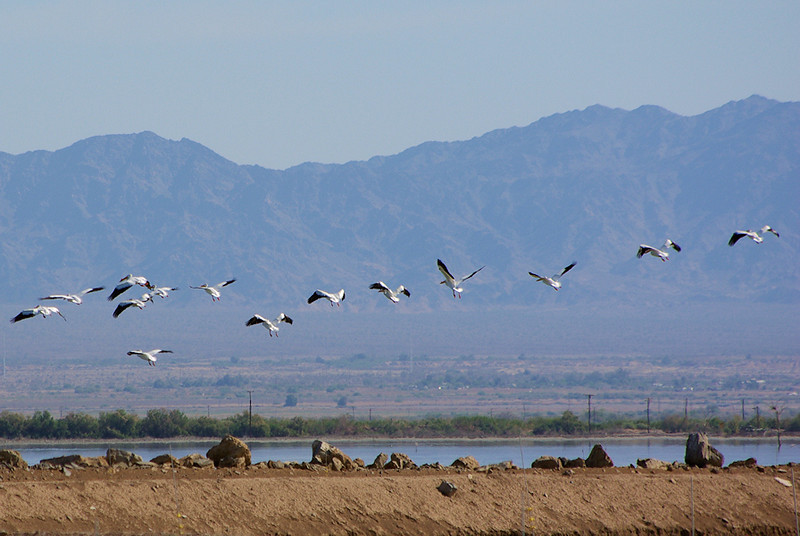 "A stream of White Pelicans fly off to the Sea from the ""ponds"" at Sonny Bono Refuge."