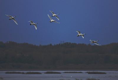 Trumpeter Swan Migration - Big Lake, Alberta
