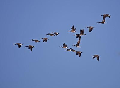 Canada Goose Migration