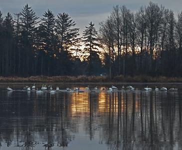 Trunpeter Swan Migration - Comox Valley, B.C.
