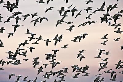 Snow Goose Migration - Skagit Bay, Washington