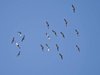 Sandhill Crane Migration - Elk Island National Park