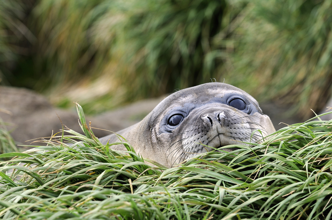 A Southern Elephant seal pup rests on a thick mat of tussock grass. Macquarie Island.