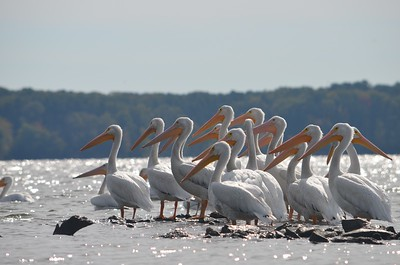 Kayaking among the American pelicans in Crab Orchard lake, Carbondale, IL