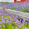 A lavender farm near Port Angles WA