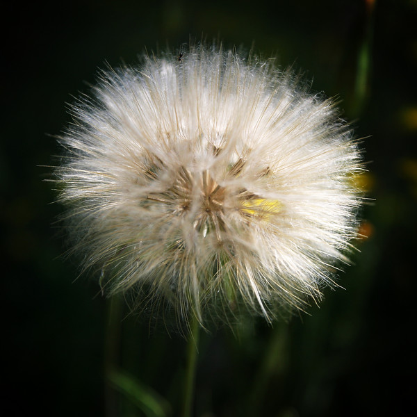 A close-up of a giant dandelion growing wild in a garden. It is just about to go to seed.